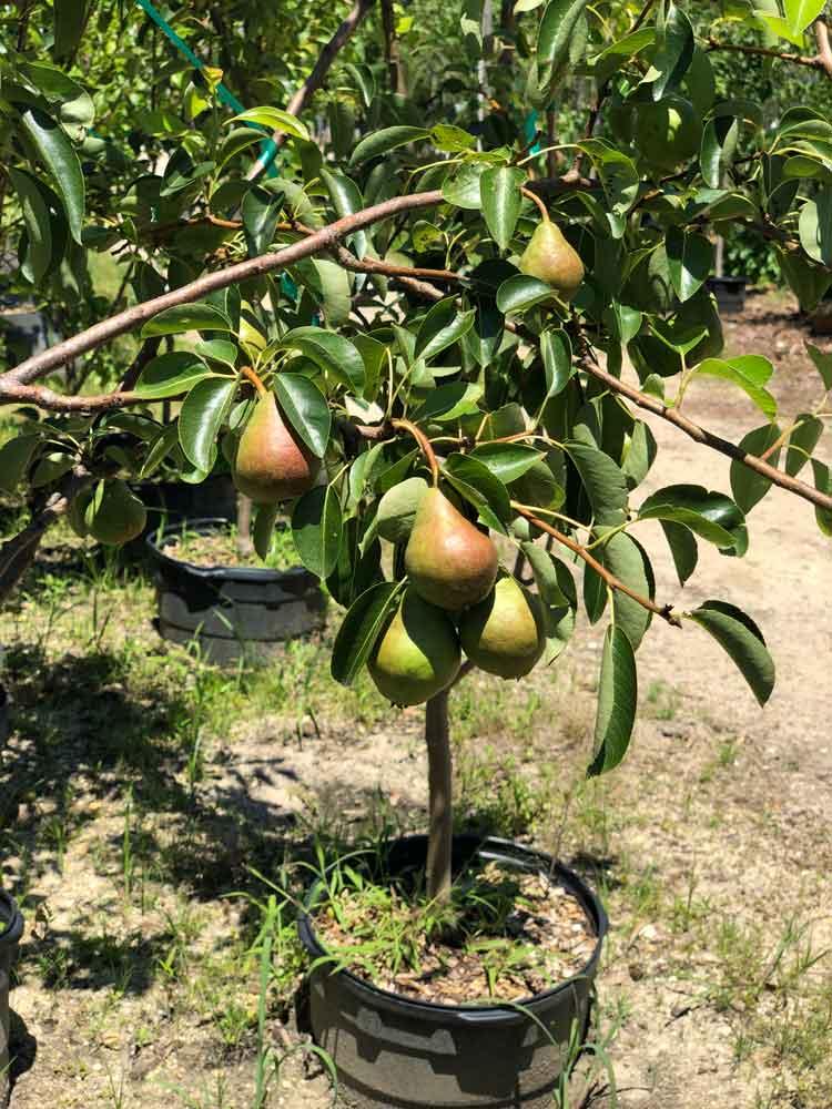 Fruit Bearing Trees In Williamstown Nj