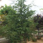 Deodara Cedar Green