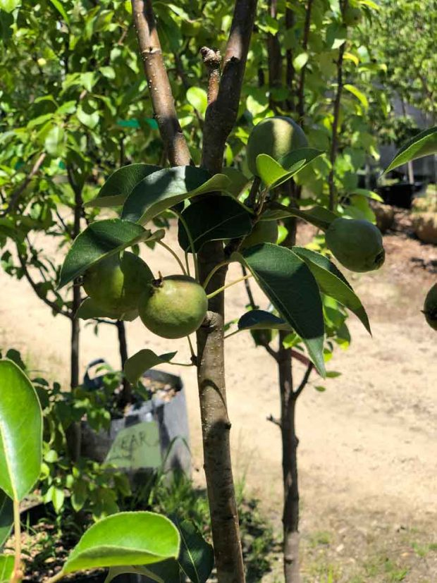 keiffer pear